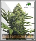 Sweet CBD Auto Seeds Buy from Trusted Cannabis Retailer Worldwide