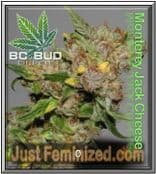 BC Bud Depot BC Cheese cannabis seeds for sale online buy