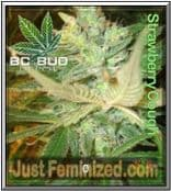 Strawberry Cough BC Bud Depot - Buy from Trusted Cannabis Retailer