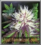 BC Bud Depot the purps Cheap at Just Feminized Seeds UK