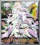 Sherbet - Finest Cannabis Seed for Sale - Black Skull - USA & Canada Fast