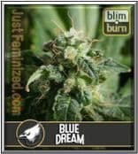 Blim Burn Seeds Bank Blue Dream Feminised Cannabis Strain