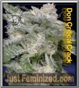 Don Avalanche Don Critical Crack - Best & Cheapest UK Seeds Supplier