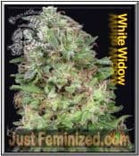 Don Avalanche Female Don White Widow Cannabis Seeds Strain for Sale