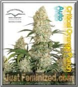 We Sell Original Dutch Passion Auto Critical Orange Punch Cannabis Seeds