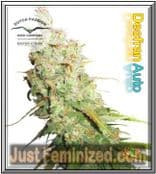 Dutch Passion Grow Report for Auto Desfran Cannabis Strain is Good