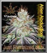 Flavour Chasers Alien Abduction Cannabis Seed Yields Good & Potent