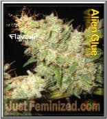 Find the Best UK Retailer for Flavour Chasers Alien Glue Seeds
