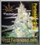 Flavour Chasers Forbidden Glue Cannabis Seed Yields are Good Potent