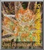 Flavour Chasers Grand Daddy Banner Cannabis Strain Marijuana Seeds