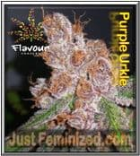 Flavour Chasers Grow Report for Purple Urkle Cannabis Strain is Good