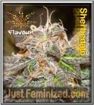 Flavour Chasers Sherblato 5 Fem Seeds