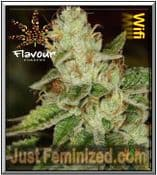Flavour Chasers WIFI - Original Authorised Seed Resellers