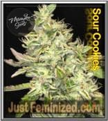 Buy the Finest Quality Mamiko Sour Cookies Cannabis Seeds