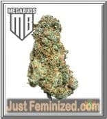Big Bruce Authorized Cannabis Seed Reseller Europe Mega Buds