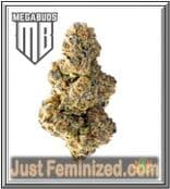 Authorised Marijuana Seed Dealer for Colossal Purps by Mega Buds