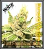 Mamacita's Cookies - Buy Pure Marijuana Seeds - Ministry of Cannabis