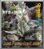 Pyramid Auto Olympia - Best & Cheapest UK Seeds Supplier
