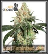 Buy Nicole Cream Seed Stockers Seeds in the USA and Canada