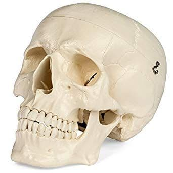 Medical Anatomical Skull Model - 3 Part (life size)