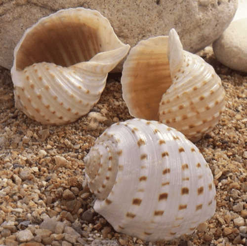 Spotted Tun Shell - large