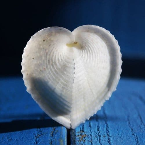 True Heart Cockle Shell