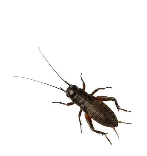 Black Crickets, Stand/Lge (Bag of 500)