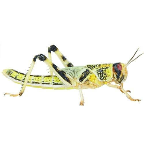 Locust pre-pack, Small (Hatchling)