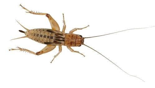 Silent Crickets pre-pack, Extra-Large