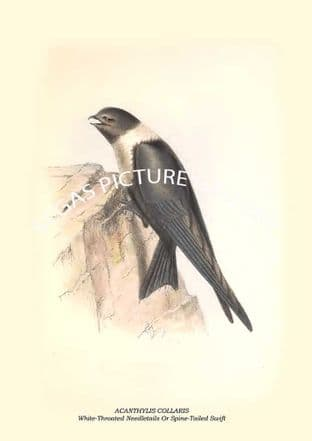 ACANTHYLIS COLLARIS - White-Throated Needletails Or Spine-Tailed Swift