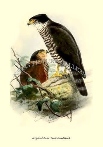 Fine art print of the Accipiter Collaris - Semicollared Hawk by Philip Lutley Sclater (1859 to 1862) reproduced by Segas Picture Gallery.<br />Open Edition