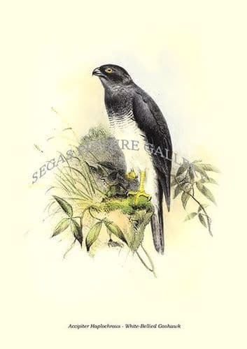 Fine art print of the Accipiter haplochrous - white-bellied goshawk by Philip Lutley Sclater (1859 to 1862) reproduced by Segas Picture Gallery.<br />Open Edition