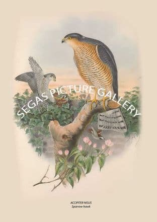 ACCIPITER NISUS Sparrow-hawk