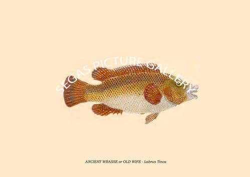 ANCIENT WRASSE or OLD WIFE - Labrus Tinca