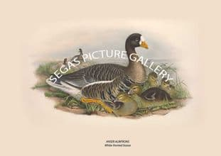 ANSER ALBIFRONS White-fronted Goose