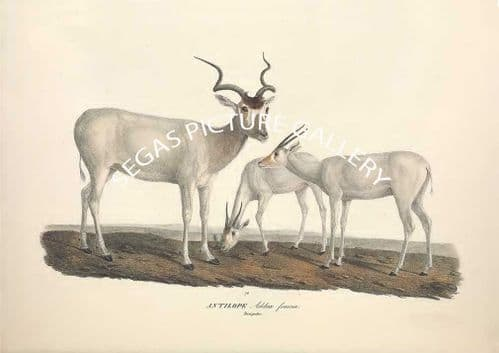Fine art print of the ANTILOPE Addax - addax also known as the white antelope and the screwhorn antelope by Friderici Guilelmi Hemprich (1828)