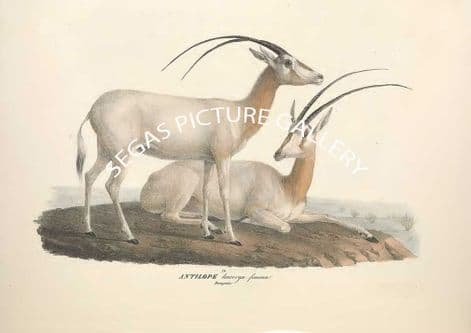 Fine art print of the ANTILOPE Leucoryx - Arabian oryx or white oryx by Friderici Guilelmi Hemprich (1828)