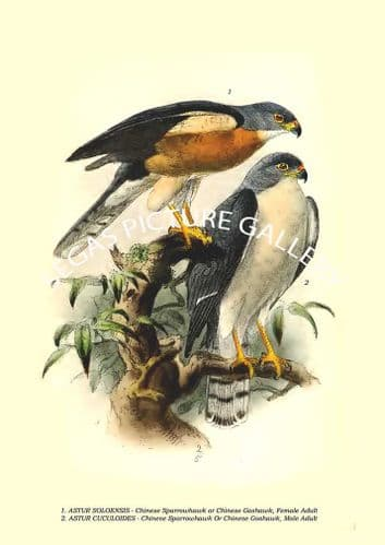 ASTUR SOLOENSIS - Chinese Sparrowhawk or Chinese Goshawk, ASTUR CUCULOIDES - Chinese Goshawk