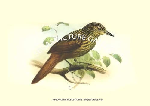 AUTOMOLUS HOLOSTICTUS - Striped Treehunter