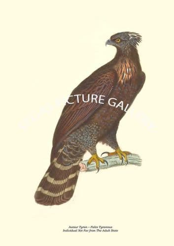 Autour Tyran  Falco Tyrannus, individual Not Far from The Adult State