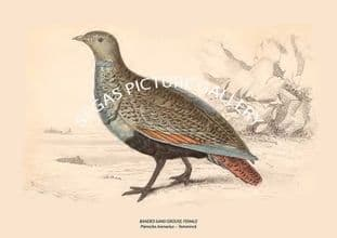 BANDED SAND GROUSE, FEMALE = Pterocles Arenarius -- Temminck