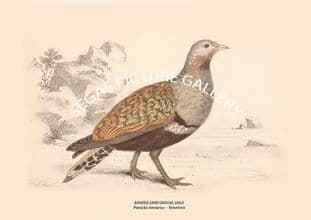 BANDED SAND GROUSE, MALE = Pterocles Arenarius -- Temminck
