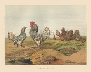 Bantams, Gold and Silver-Laced; by Harrison Weir