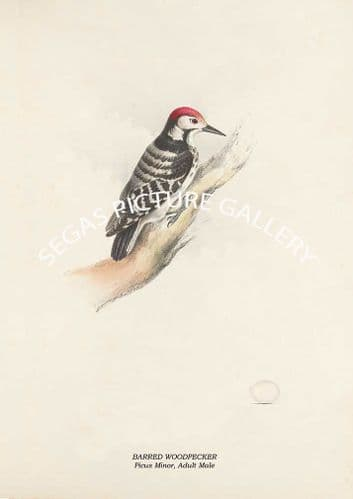 BARRED WOODPECKER - Picus Minor, Adult Male