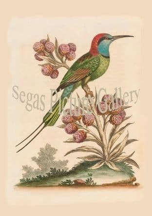 Bee-Eater, Indian