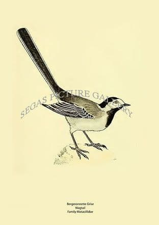 Bergeronnette Grise - Wagtail -  Family Motacillidae
