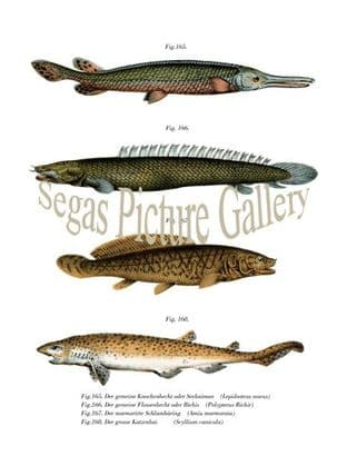 Billfish or Seekaiman, Bichir or Bichis, Marbled Schlamharing, Big dogfish