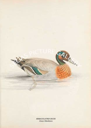 BIMACULATED DUCK - Anas Glocitans