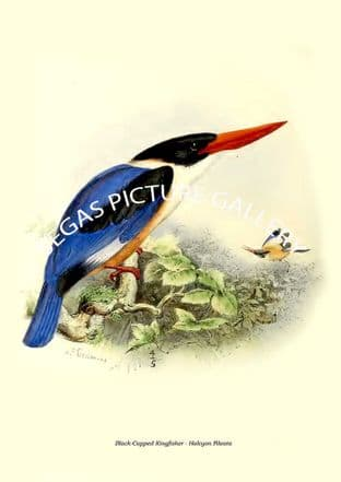 Black-Capped Kingfisher - Halcyon Pileata