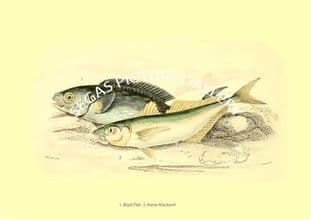 Black Fish - Horse Mackerel